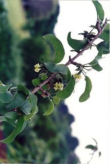 Aieaflowers